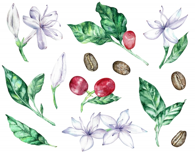 Akwarela clipartów białych kwiatów kawy, zielonych liści, czerwonych jagód i fasoli. Premium Zdjęcia