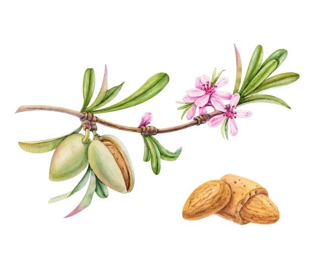 Akwarela Gałąź Migdałów Z Kwiatami I Orzechami Premium Zdjęcia