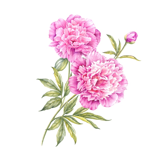 Akwarela różowa piwonia. Premium Zdjęcia