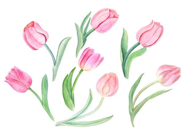 Akwarela Różowe Tulipany Vintage Ilustracji Botanicznych Premium Zdjęcia