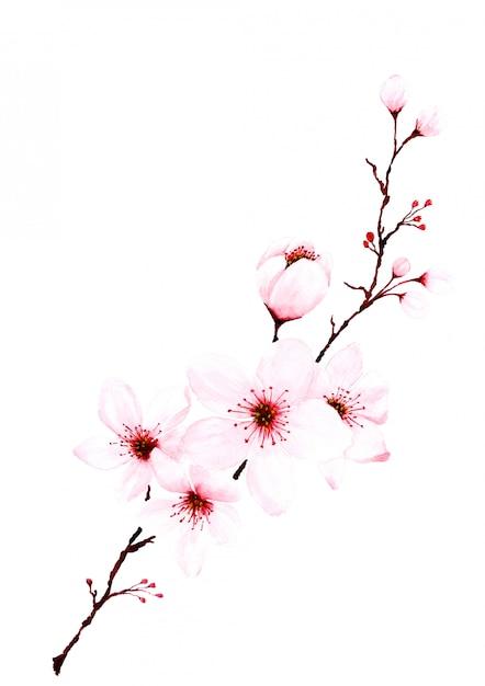 Akwarele sakura oddziałów ręcznie malowane. Premium Zdjęcia