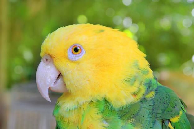 Amazon Parrot Yellow Na Czele Oratrix Premium Zdjęcia