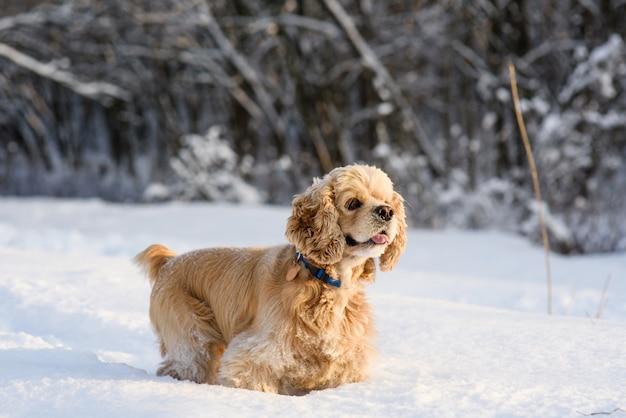 Amerykański Cocker Spaniel W śnieżnym Lesie Premium Zdjęcia