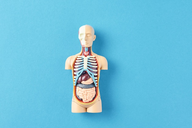 Anatomiczny Model Ludzkiego Ciała Z Narządami Wewnętrznymi Na Niebieskim Tle. Manekin Anatomiczny Ciała Premium Zdjęcia