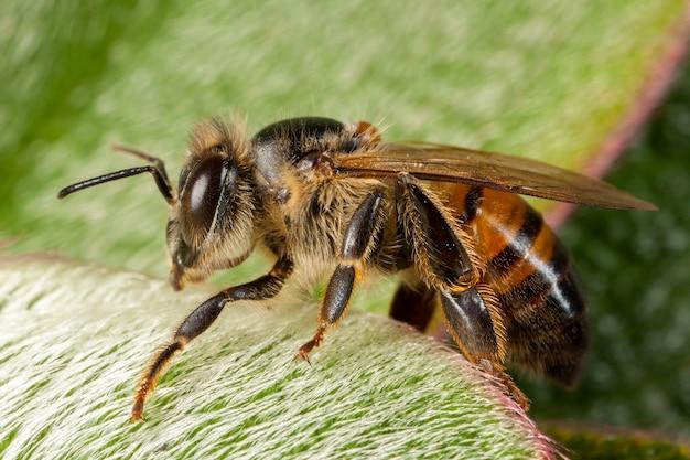 Apis Mellifera Zachodnia Pszczoła Miodna Europejska Premium Zdjęcia