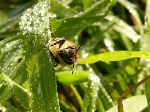 Apis Miód Owadów Owad Pszczoła Darmowe Zdjęcia