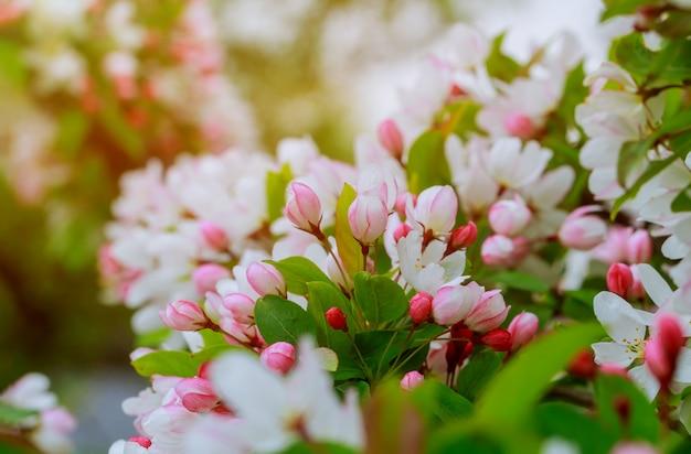 Apple kwiaty nad niewyraźne tło natura wiosenne kwiaty Premium Zdjęcia