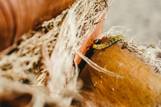 Arge Rosae, Gąsienica Krzewu Różanego, Zbliżenie Podczas Poruszania Się. Premium Zdjęcia