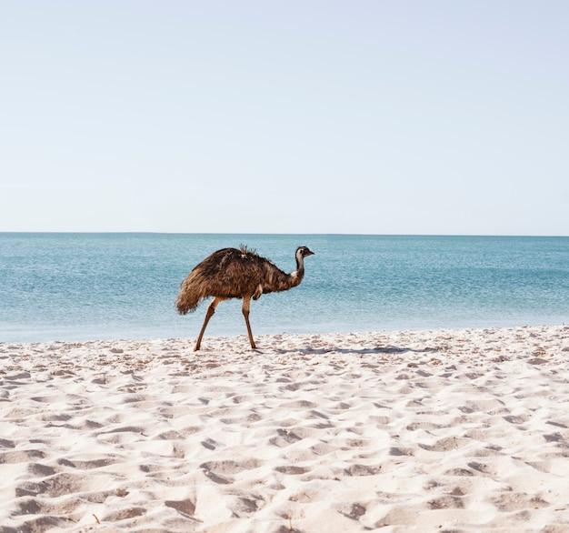 Australijski Emu Przy Plaży Premium Zdjęcia