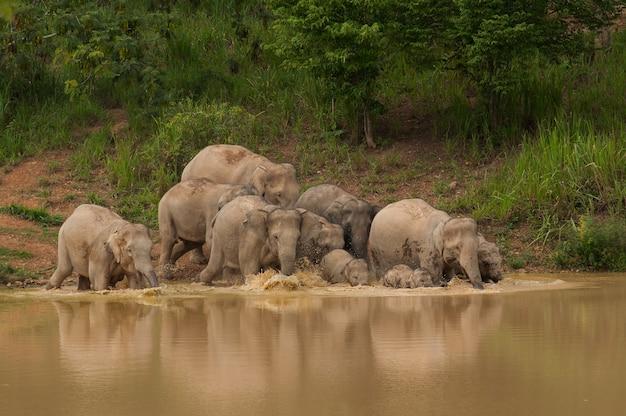 Azja Dzikie Słonie Cieszą Się Wodą Premium Zdjęcia