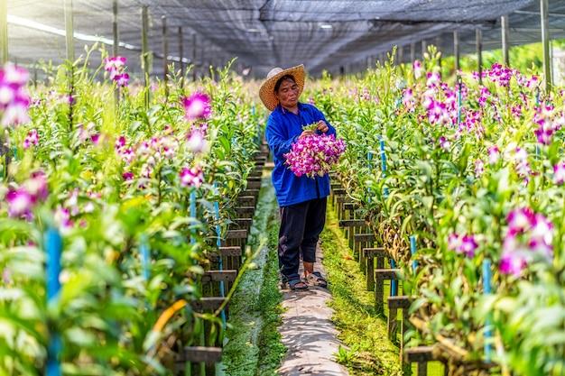 Azjatycki Ogrodnik Ogrodnictwa Storczyk Farm Cięcia I Zbierania Storczyków Premium Zdjęcia