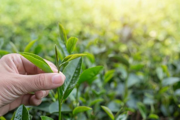 Azjatyckie ręce zbieracza herbaty - bliska, ładna dziewczyna zbierająca herbatę na plantacji. Darmowe Zdjęcia