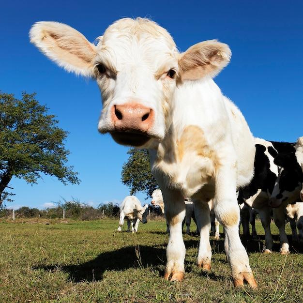 Baby Krowa Na Polach Uprawnych Latem Darmowe Zdjęcia