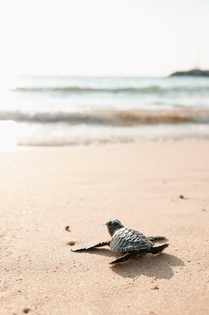 Baby Turtle Na Piaszczystej Plaży W Wodzie Oceanu. Egzotyczny Brzeg Małego Zwierzęcia Cub W Kierunku Morza, Aby Przetrwać. Premium Zdjęcia