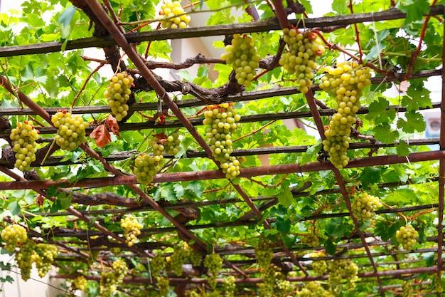Baldachim Białych Winogron Na Patio Premium Zdjęcia