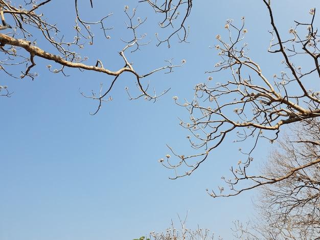 Baldachim Plumeria Kontrastuje Z Widokiem Na Błękitne Niebo Premium Zdjęcia