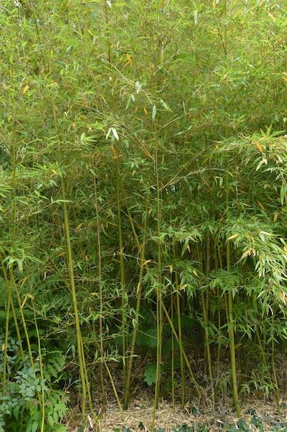 Bambusowy gaj, bambus rośnie w parku. Premium Zdjęcia