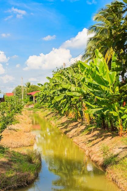 Bananowy drzewo w thailand sadzie Premium Zdjęcia