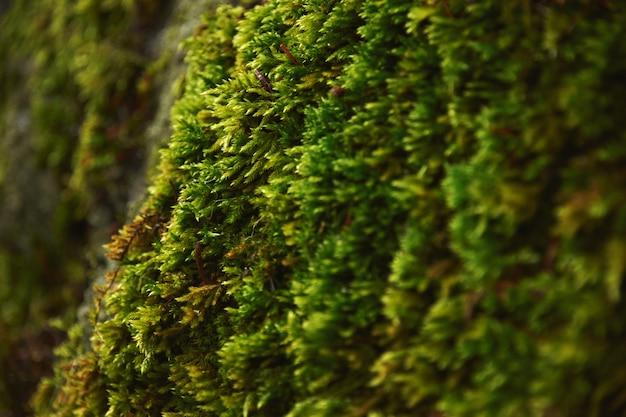 Bardzo Blisko Tekstury Północnego Mchu Rosnącego Na Kamieniu W Północnym Lesie, W Deszczowy Zimowy Dzień. Darmowe Zdjęcia