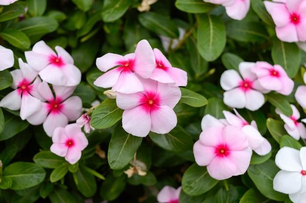 Barwinek Różowe Kwiaty W Ogrodzie. Piękne Klomby Z Kwitnącymi Krzewami. Premium Zdjęcia