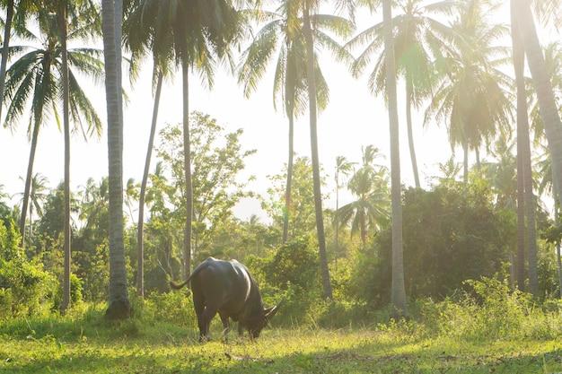 Bawół Z Dużymi Rogami Pasie Się Na Trawniku W Zielonej Tropikalnej Dżungli. Premium Zdjęcia