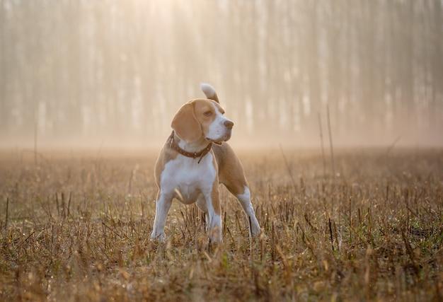 Beagle Pies Rasy Beagle Na Spacerze Po Lesie W Wiosenny Poranek W Gęstej Mgle O świcie Na Spacerze We Mgle Premium Zdjęcia
