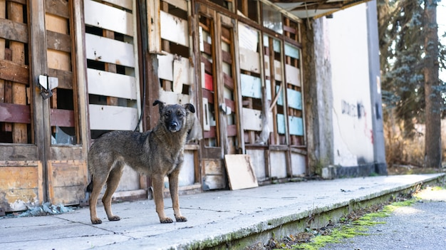 Bezdomny Pies W Pobliżu Opuszczonego Budynku Premium Zdjęcia