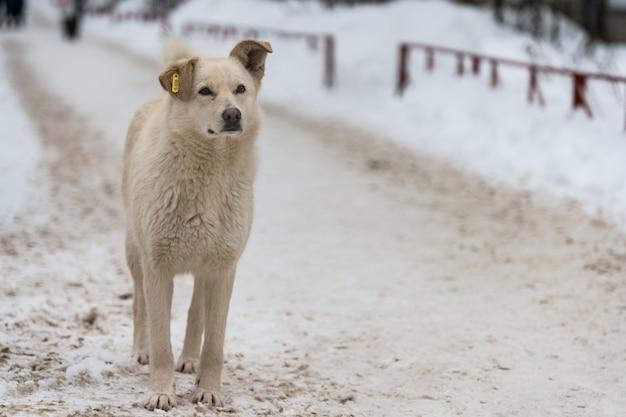 Bezdomny Pies Z Chipem W Uchu Na Drodze Zimą. Nie Rasowy Dobry Miły Piesek. Premium Zdjęcia