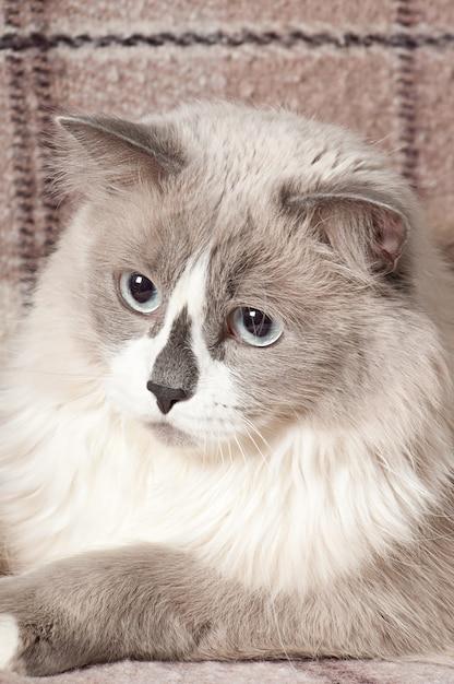 Beżowy Kot Leżący Na Kanapie Darmowe Zdjęcia
