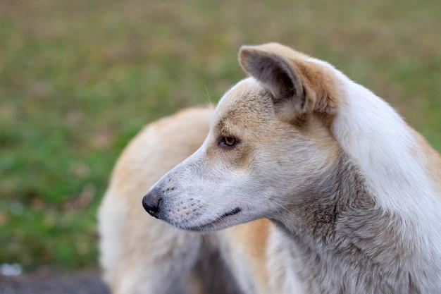 Bezpański, Porzucony Pies O Bardzo Smutnych I Inteligentnych Oczach. Pies Biega Po Parku Obok Ludzi. Premium Zdjęcia