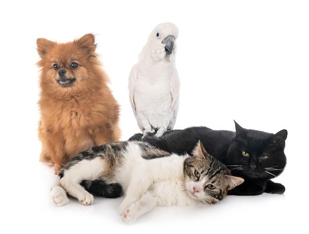Bezpańskie Koty Szpic I Kakadu Premium Zdjęcia
