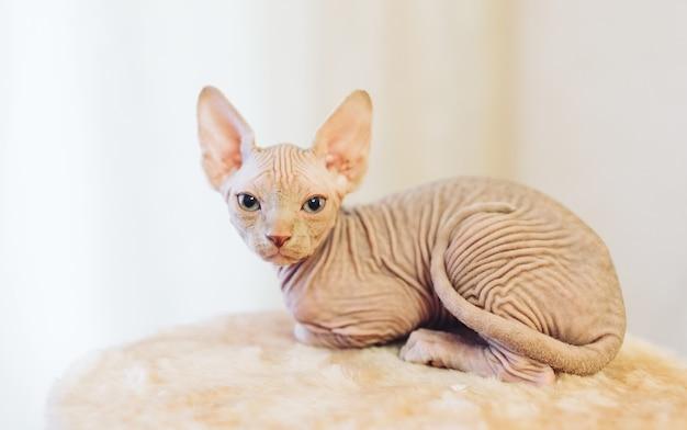 Bezwłosy Sfinks Kot. Premium Zdjęcia