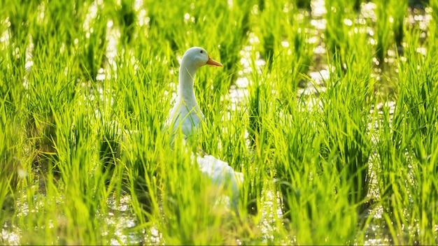 Biała Kaczka Przy Wodnym Ryżu Polem Z Bokeh Premium Zdjęcia