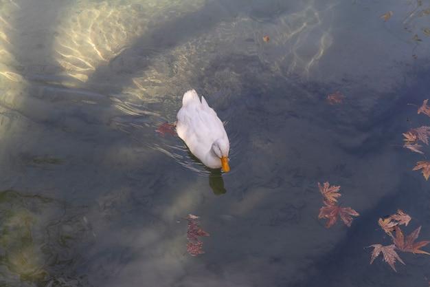 Biała Kaczka W Jeziorze Premium Zdjęcia