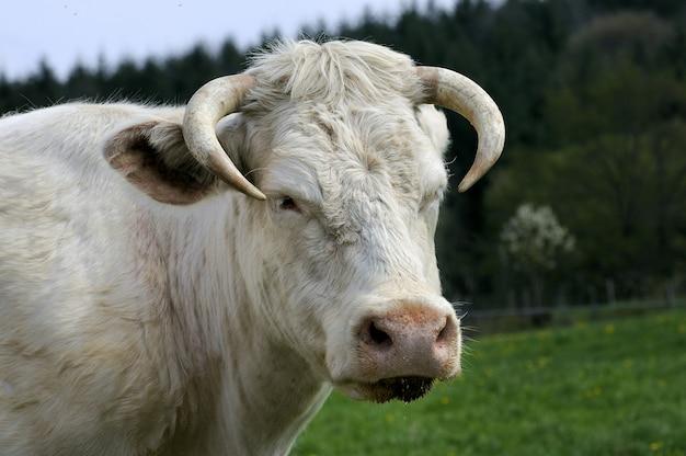 Biała Krowa W Polu Premium Zdjęcia