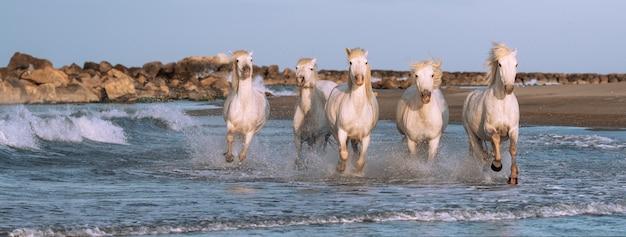 Białe Konie Galopują W Wodzie Na Całym Morzu W Camargue We Francji. Premium Zdjęcia