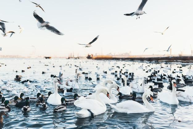 Białe łabędzie, Dzikie Kaczki I Mewy Pływające Zimą W Wodzie Morskiej. Latające Mewy. Ptaki Zimują Na Zimno. Ochrona Ludzi Ptaków Premium Zdjęcia