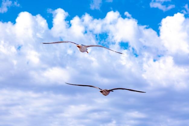 Białe Mewy Unoszące Się Na Niebie. Lot Ptaka. Mewa Na Błękitne Niebo Premium Zdjęcia