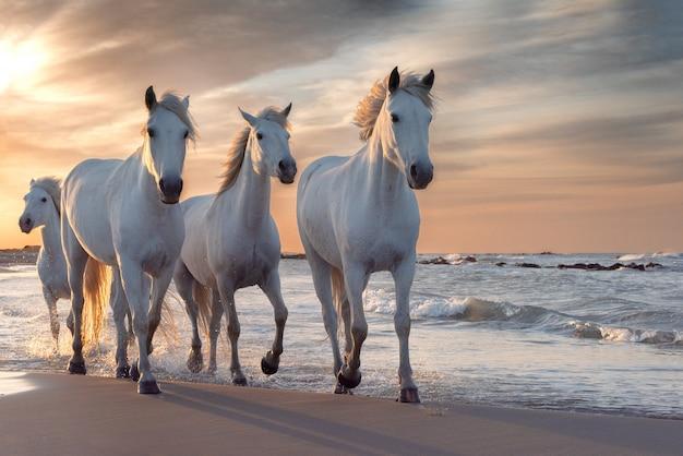 Biali Konie W Camargue, Francja. Premium Zdjęcia