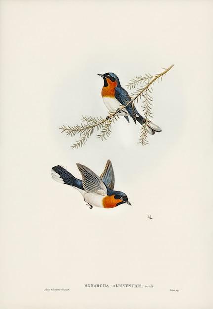 Białobrzuchy Flycatcher (monarcha Albiventris) Zilustrowane Przez Elizabeth Gould Darmowe Zdjęcia