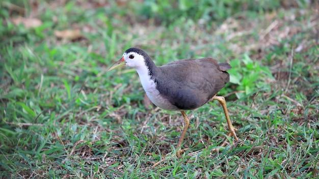 Białogrzbieta Waterhen (amaurornis Phoenicurus), Ptaki Premium Zdjęcia