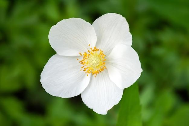 Biały Kwiat Anemonu Premium Zdjęcia