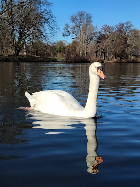Biały łabędź na stawie późną jesienią lub zimą w jasny dzień Premium Zdjęcia