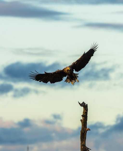 Biały Ogoniasty Eagle Ląduje W Drzewie, Vertical Kopii Przestrzeń Premium Zdjęcia
