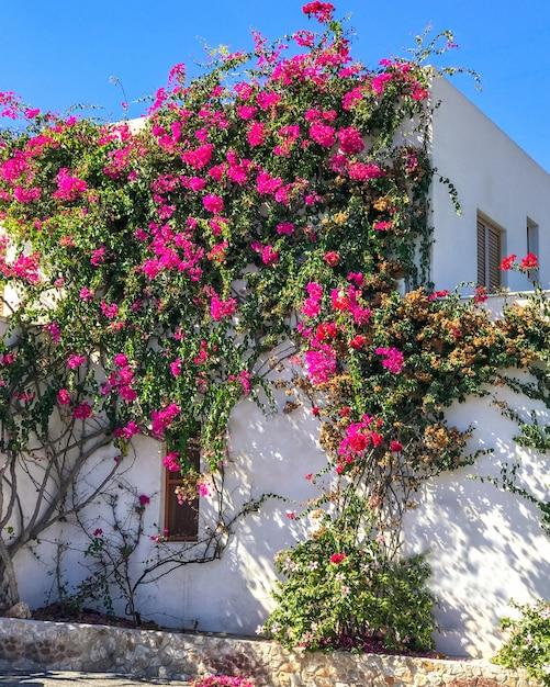 Biały Stary Budynek Opleciona Purpura Kwitnie Bougainvillea W Santorini, Grecja. Premium Zdjęcia