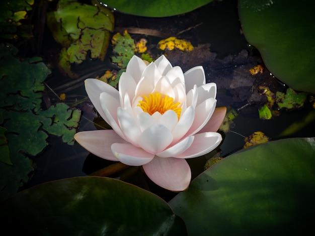 Biały święty Kwiat Lotosu Na Wodzie Darmowe Zdjęcia