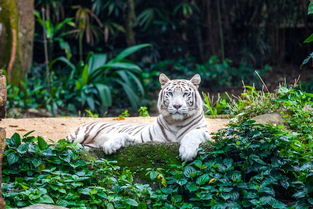 Biały Tygrys Bengalski Premium Zdjęcia