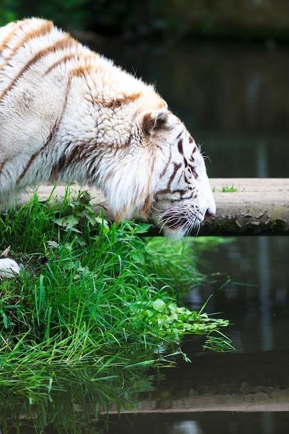 Biały Tygrys Nad Rzeką Darmowe Zdjęcia