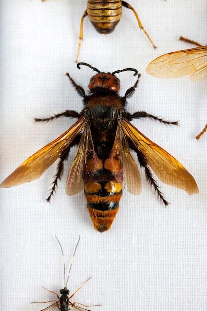 Big Hornet W Kolekcji Premium Zdjęcia