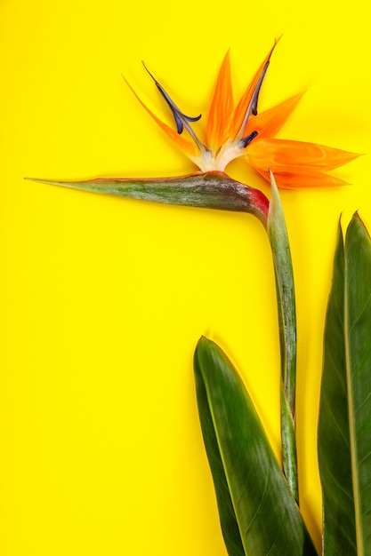 Bird Of Paradise Flower Strelitzia Reginae Premium Zdjęcia
